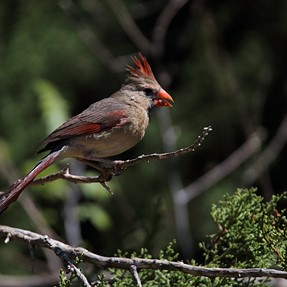 Male Cardinal @ 600mm with Tamron 150-600.