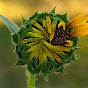 Just a little sunflower