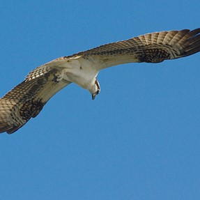 Local ospreys are back