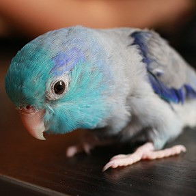My Parrotlet and why I want a better camera