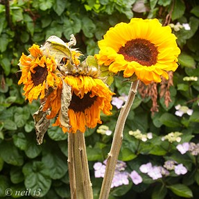 Wilting Sunflowers . New life for a DiMage 7hi