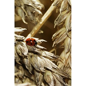 Hungry Ladybird
