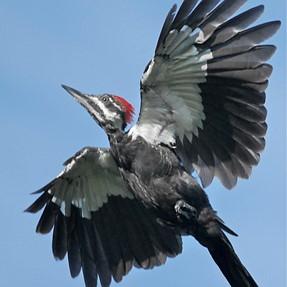 Piliated Woodpecker in Flight