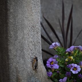 Cicadas everywhere