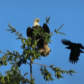 Bald Eagle with ZR850