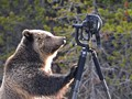 Grizzly bear tests limits of rented lens insurance cover