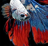 In photos: Flowing fins of Siamese fighting fish