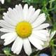 Daisy AU