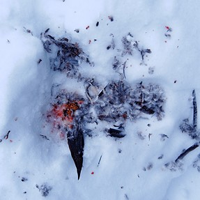 Abstract art on the snow: the remainings of a dover (P7700)