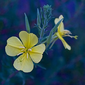 Low light evening primrose....EM1 + 43 50 f/2