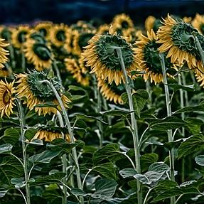 E-30 and sunflower