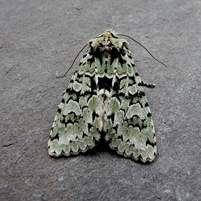 P7700 Two more UK moths