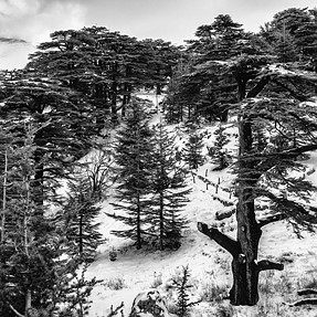 Cedrus Libani, also known as Cedars of God.
