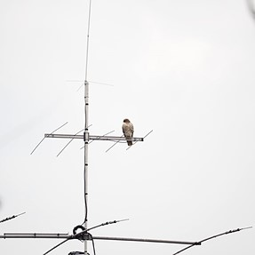 Red-tailed Hawk @ 150 yards (Est.)