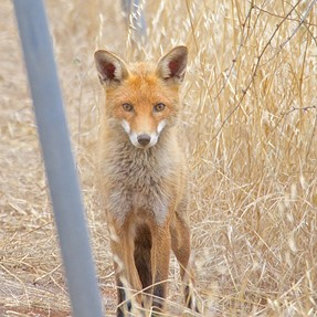 Foxy woxy.
