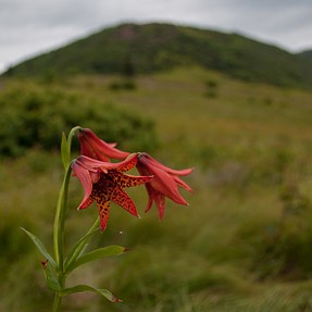 Rare Gray's Lily in the Southern Appalachians. C&C please.