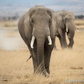 Elephants - East Africa