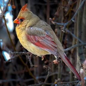 Birds with 700D  + Tamron 150-600  + Flash