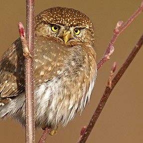 Pygmy Owl shot with Sony 500mm f4 [without fog]