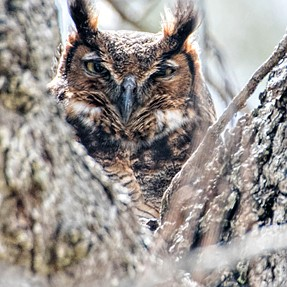 Great Horned Owl and Baby
