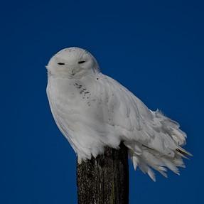 Snowy Owl, Pickford Michigan