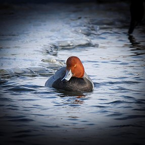 Winter Redhead