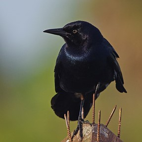 Grackle and wild flowers