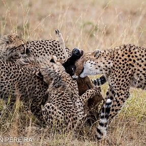 The Kill - Final bite from a cheetah