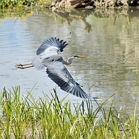 HIF (Herons In Flight)