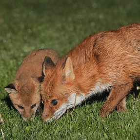 O.T. New proper Fox Kit photos following on from yesterday's video