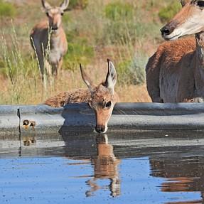 Thirsty Antelope