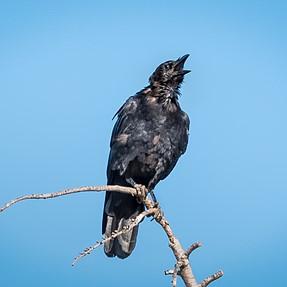Scrawney Crow (C & C)
