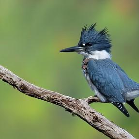 D7100 - 300/f4 + 1.4x TC --- A few Belted Kingfisher shots