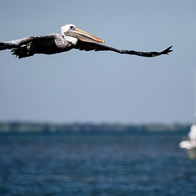 Pelicans and a perfect 10 dive