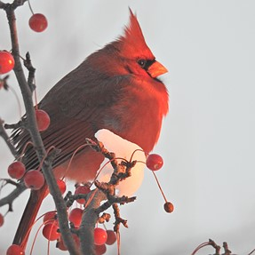 Northern Cardinal - Wisconsin