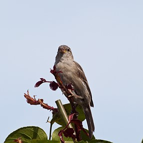 Sparrows/ E 600 with 70-300mm