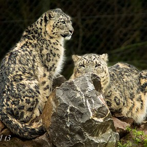 Snow Leopards and Artic Wolves