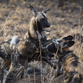 OMD-EM1 goes to Zululand to monitor wild dogs
