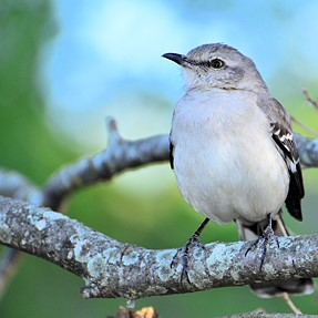 Finally a cooperative subject (Northern Mockingbird) x4