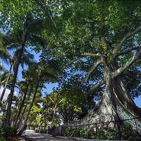 Banyan Tree (woah)