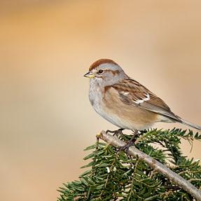 Yard birds...