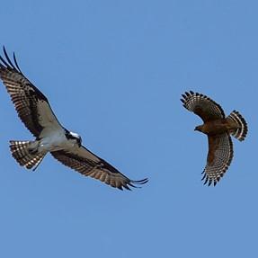Anyone into bird I.D.?