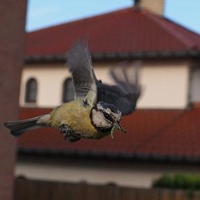 Bird in flight with voigtlander 17.5