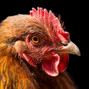 Which came first the chicken or the egg?