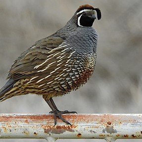 First Ever California Quail Picture!!