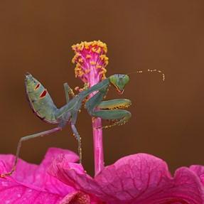 Pollinating Mantis .