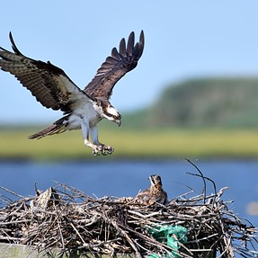 The Osprey nest, plus D500 200-500